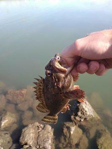 Brown Scorpionfish — Aurélien Potier