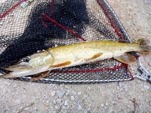 Northern Pike — Momo fishing