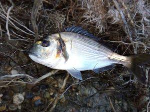 Gilthead Seabream — les pêcheur du 11 (youtube)
