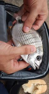 Common Two-banded Seabream — Rémi 37