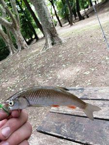 Chub — Adrien fishingriverandsea