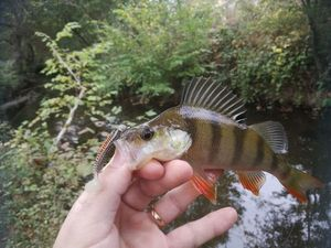 European Perch — Mickael Bignolais