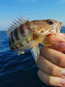 Serran Commun (Sarran) — Adrien fishingriverandsea
