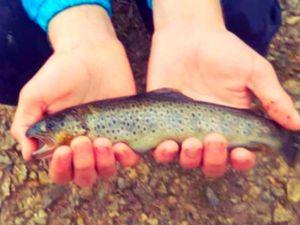 Brown Trout — Antoine fishing