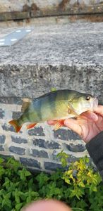 European Perch — Boris Vigneron