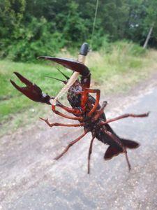 Spinycheek Crayfish — Mathieu Blanc