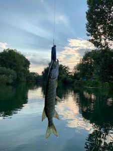 Northern Pike — Jordan Monkey Fishing