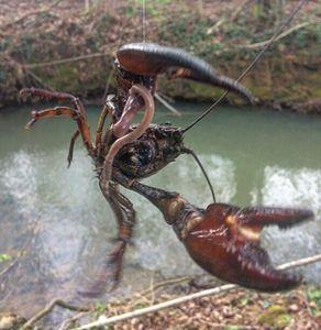 Spinycheek Crayfish — Alex Gentet