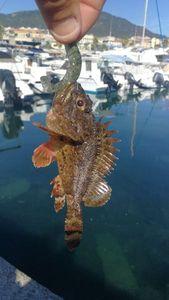 Brown Scorpionfish — Matthieu Leva
