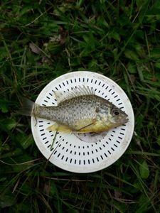 Green Sunfish — David Dedelot