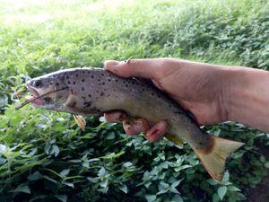 Brown Trout — Pelo Serrato