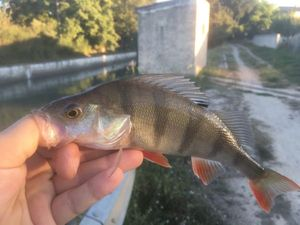 European Perch — Matty Fishermen13