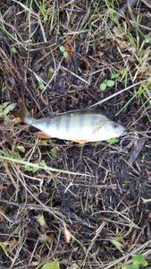European Perch — arno35 Binagot