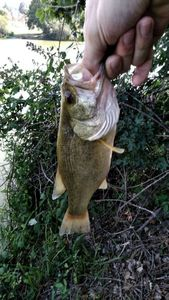 Largemouth Bass — Vincent Ponche