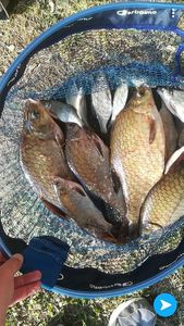 Common Bream — Lionel Manceau