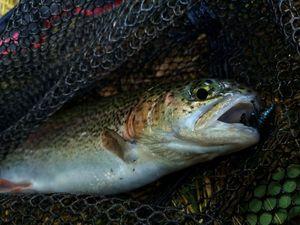 Rainbow Trout — Tony Fish
