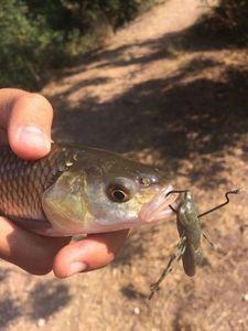Chub — Fishing Porquerolles