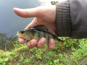 European Perch — Florent Gamand