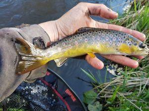 Common Trout — Louis Merle