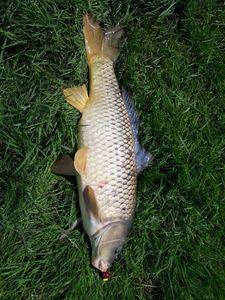 Common Carp — Kevin Macouin
