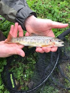 Brown Trout — Nicolas Rival