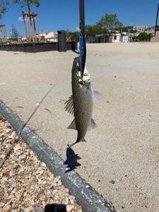 European Bass — michael audon