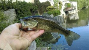 Largemouth Bass — Thomas Moussion