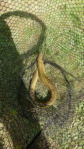 Anguille d'Europe (Anguille Commune) — Benj Gabber