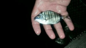 White Seabream — Scary Fishing