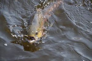Brown Trout — Bruno Hedouin