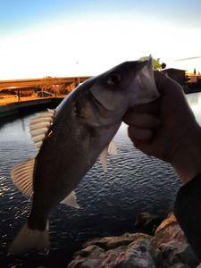 European Bass — GTR DT