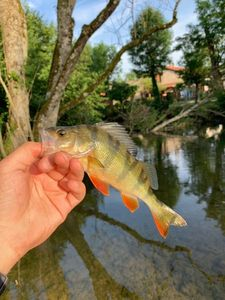 European Perch — Jordan Monkey Fishing