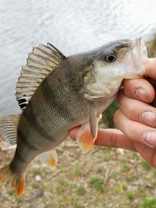 European Perch — Rudy Bc