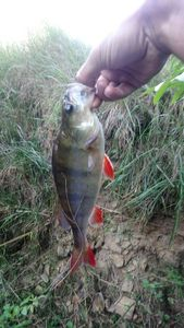 European Perch — Willy Woonka