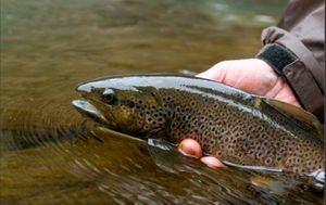 Brown Trout — Yonis Boularot
