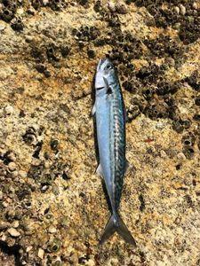 Mackerel — Gauthier Coyette 🎣