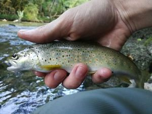 Brown Trout — Ludo Gagnieux