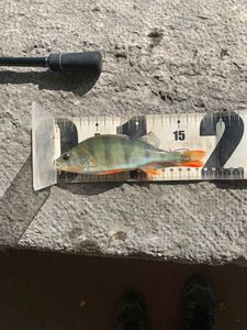 European Perch — Lylian Gallet