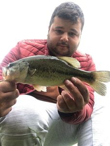 Largemouth Bass — Eli Levy