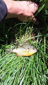 Green Sunfish — vincent munier