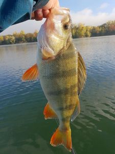 European Perch — Theddy Gonthier