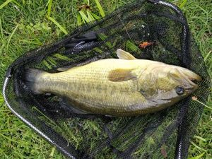 Largemouth Bass — Titouan PAPOT