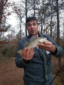 Yellow Perch — Arbion Naudro