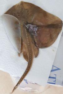 Common Stingray — RAPH FERRERO