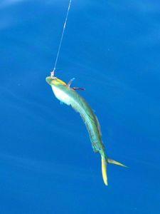 Dolphinfish — Donat Rueff