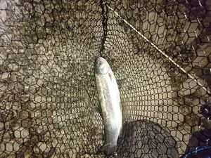 Rainbow Trout — Cyrille Didier