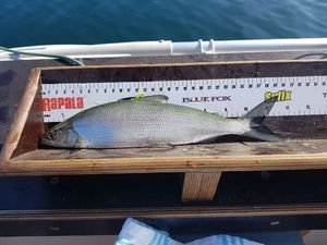 Lake Whitefish — Mathieu Golay