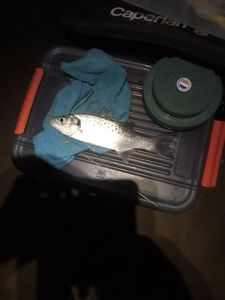 Spotted Seabass — Hans Barre