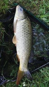 Common Carp — Yoann L
