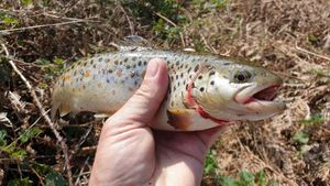 Brown Trout — Eric Hamon